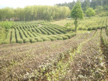 Tea Farm China