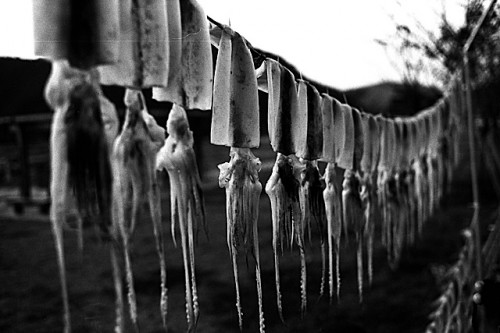 Squid Drying